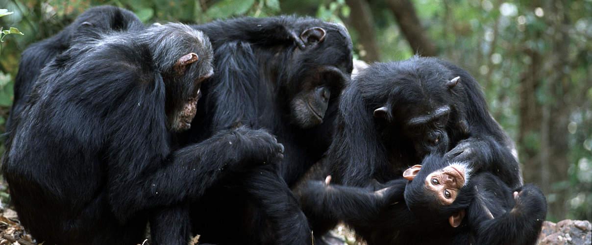 Menschen Affen