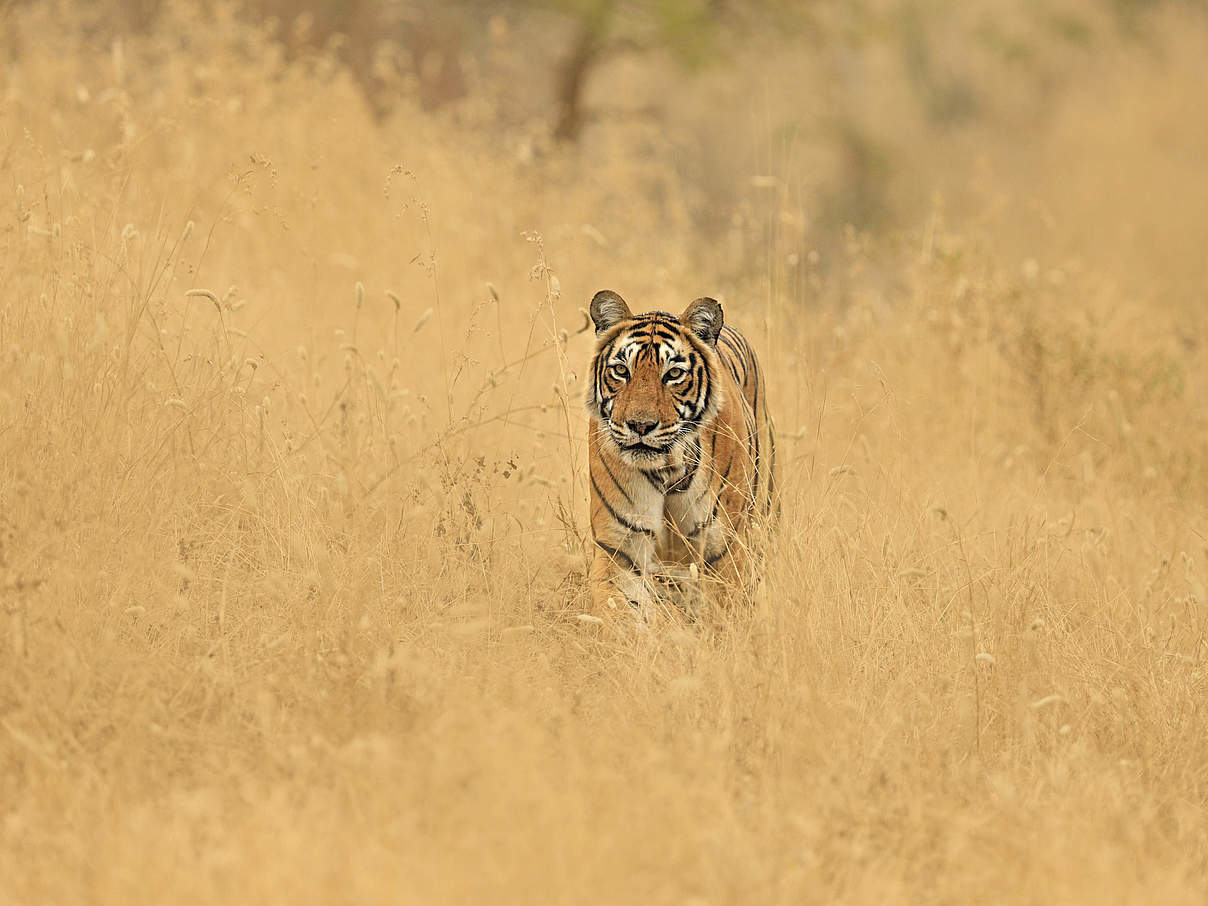 Bengal-Tiger in der indischen Steppe © naturepl.com / Andy Rouse / WWF