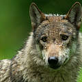 Grauwolf in Deutschland © Ralph Frank / WWF