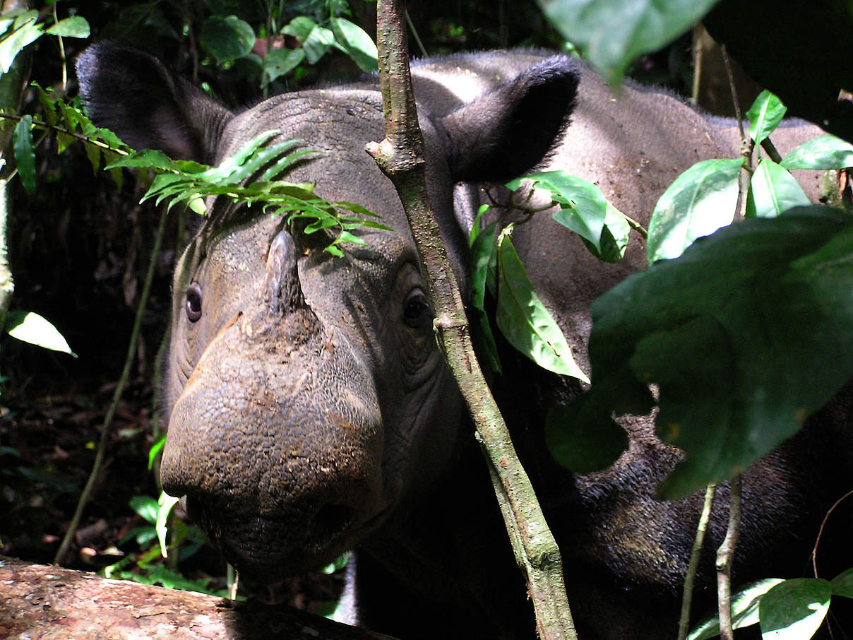 Ein Sumatra-Nashorn in Indonesien © Gert Polet / WWF-Indonesia