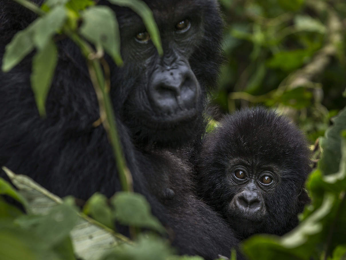 Gorillafamilie im Virunga-Nationalpark © Brent Stirton / Reportage for Getty Images / WWF