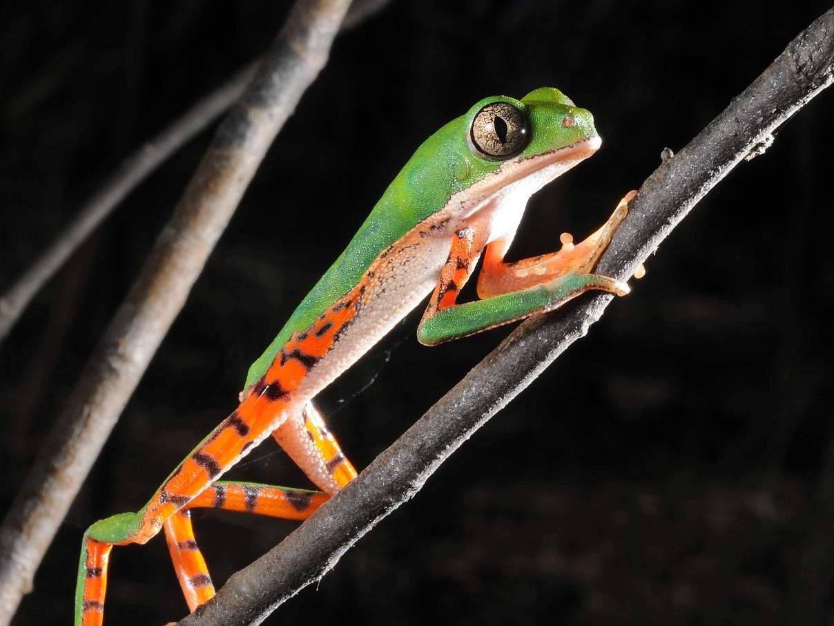 Tigerleg monkey tree frog © Zig Koch / WWF