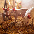 Ferkel im Schweinestall © dusanpetkovic / iStock / Getty Images Plus