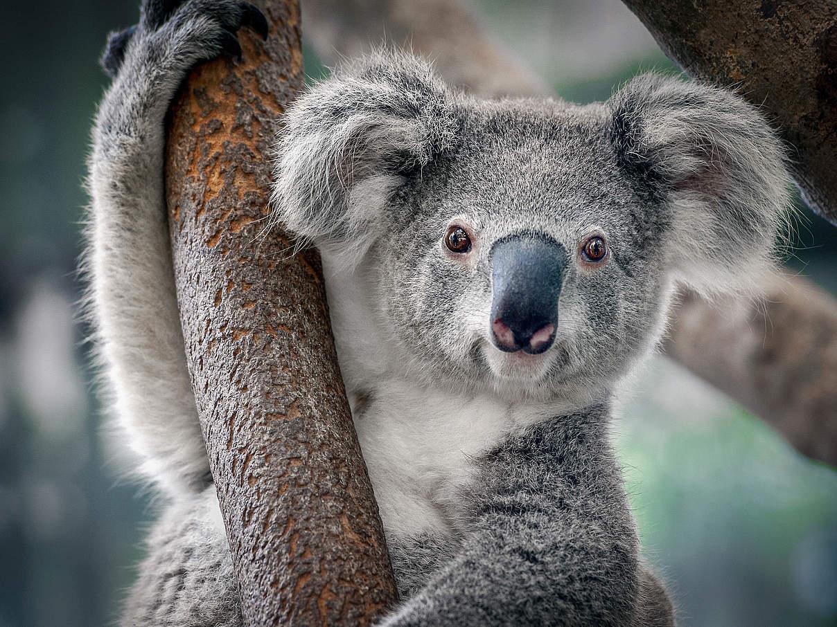 Koala in einem Baum © Shutterstock / Yatra / WWF
