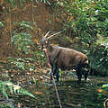Saola in Laos © William Robichard / WWF