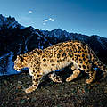 Schneeleopard. © National Geographic Stock / Steve Winter / WWF