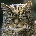 Wildkatze © David Lawson / WWF UK
