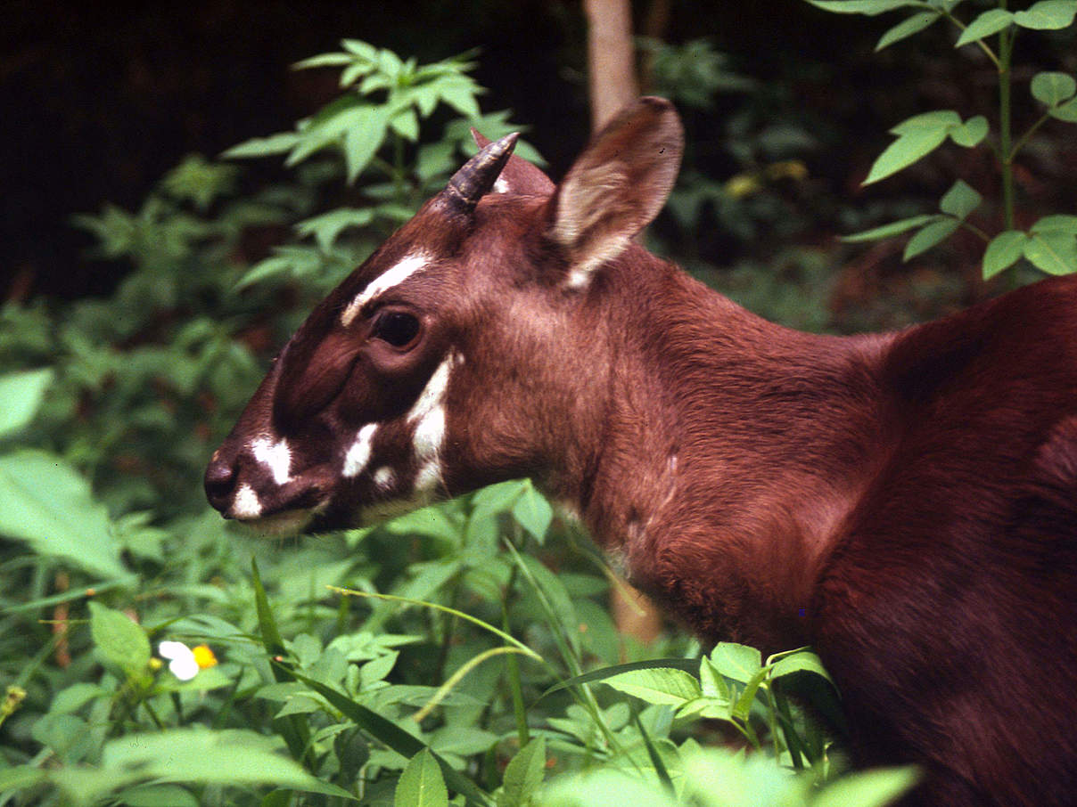 Saola-Rind © David Hulse / WWF