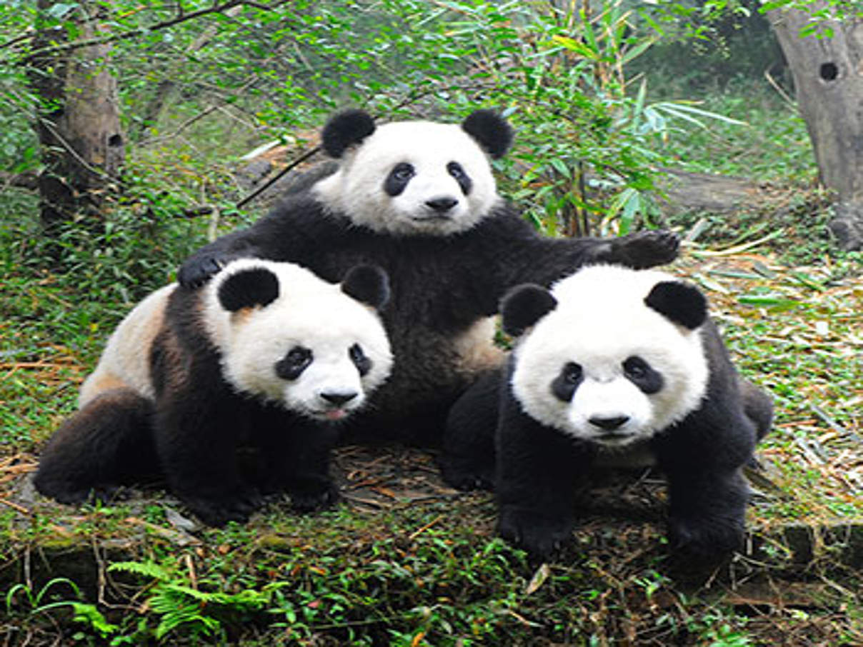 Pandas © iStock / Getty Images