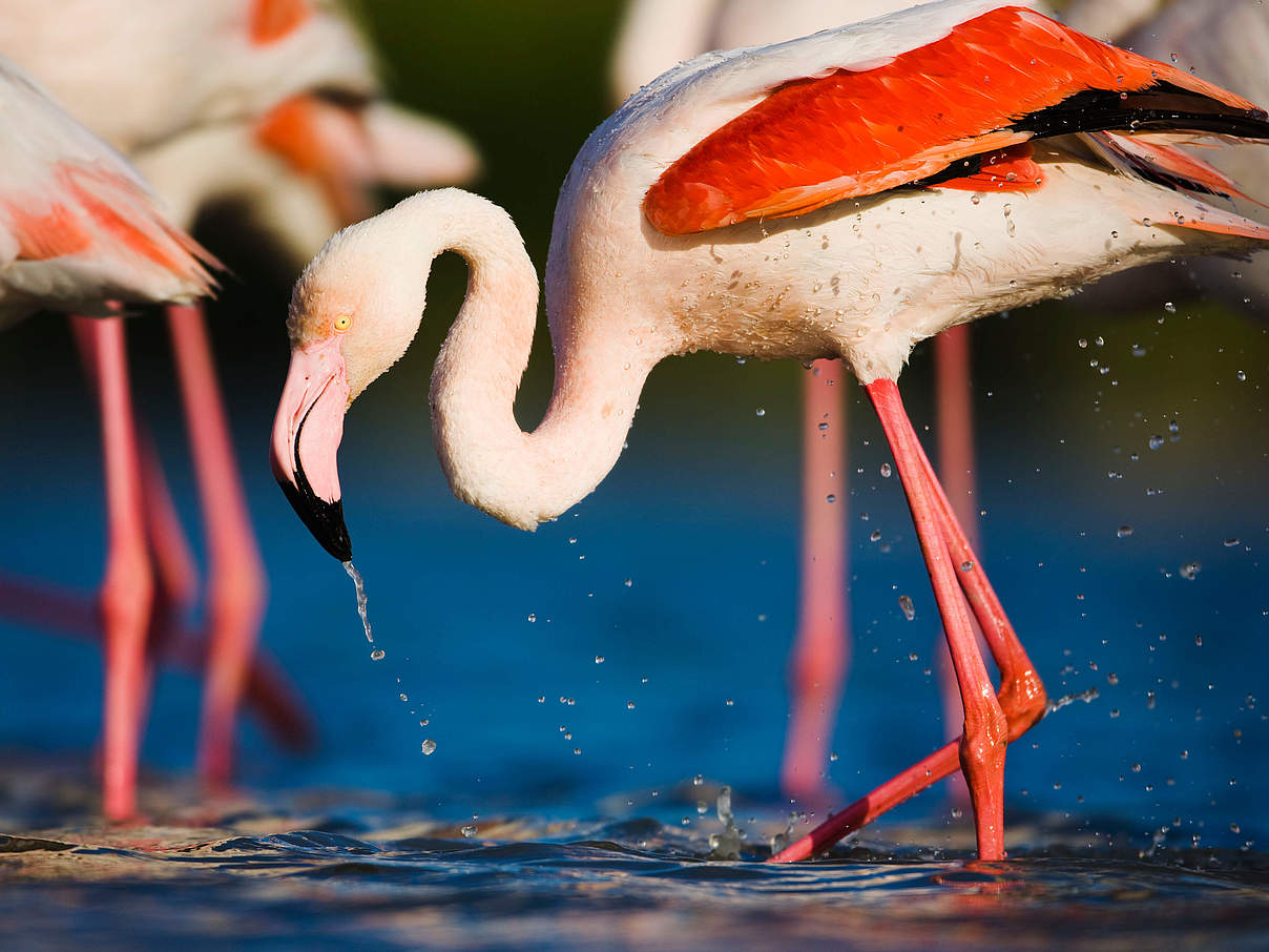 Flamingo © Wild Wonders of Europe / Allofs / WWF