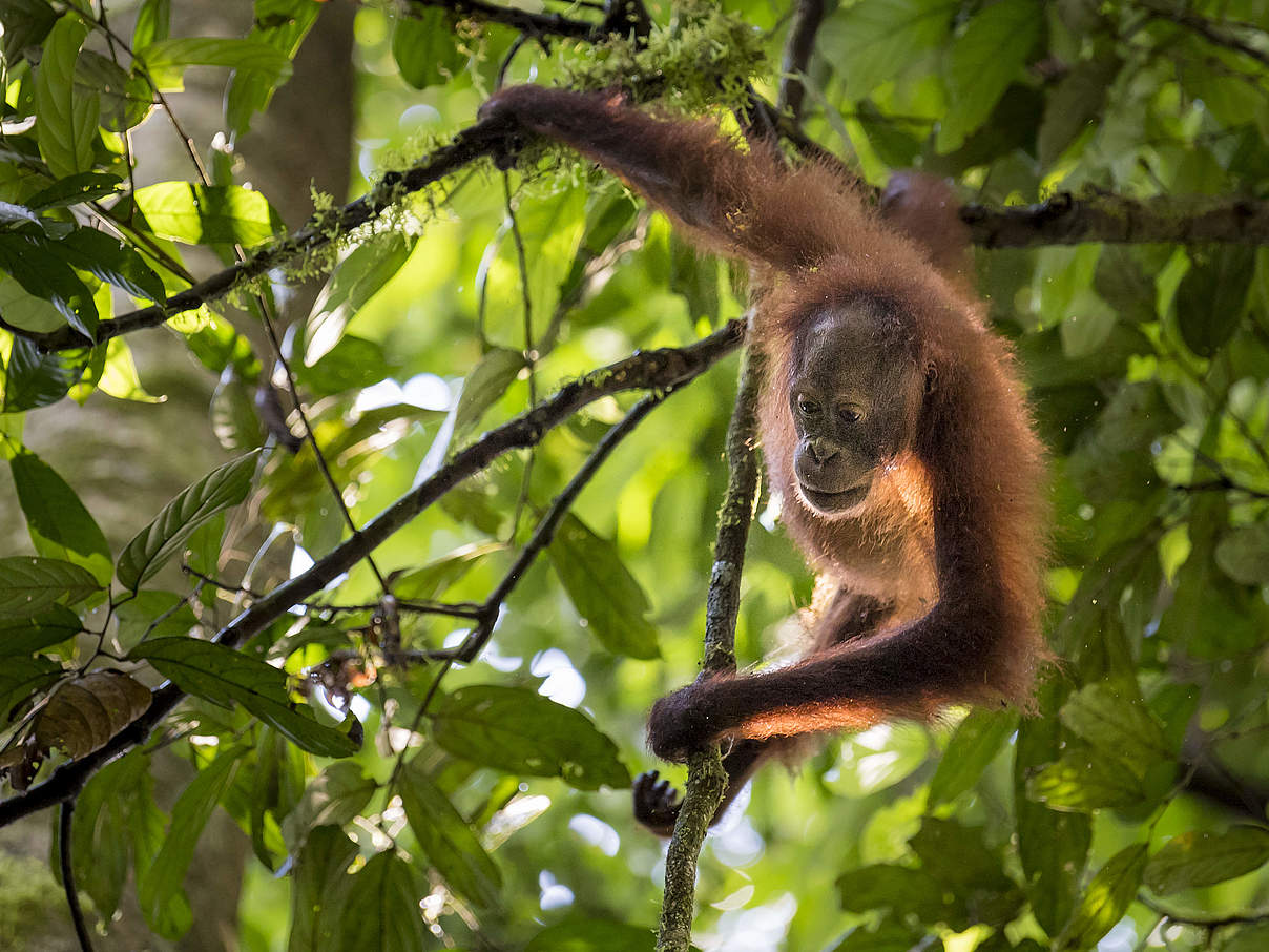 Borneo-Orang-Utan © Richard Barrett / WWF UK