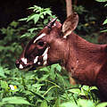 Saola in Vietnam © David Hulse / WWF