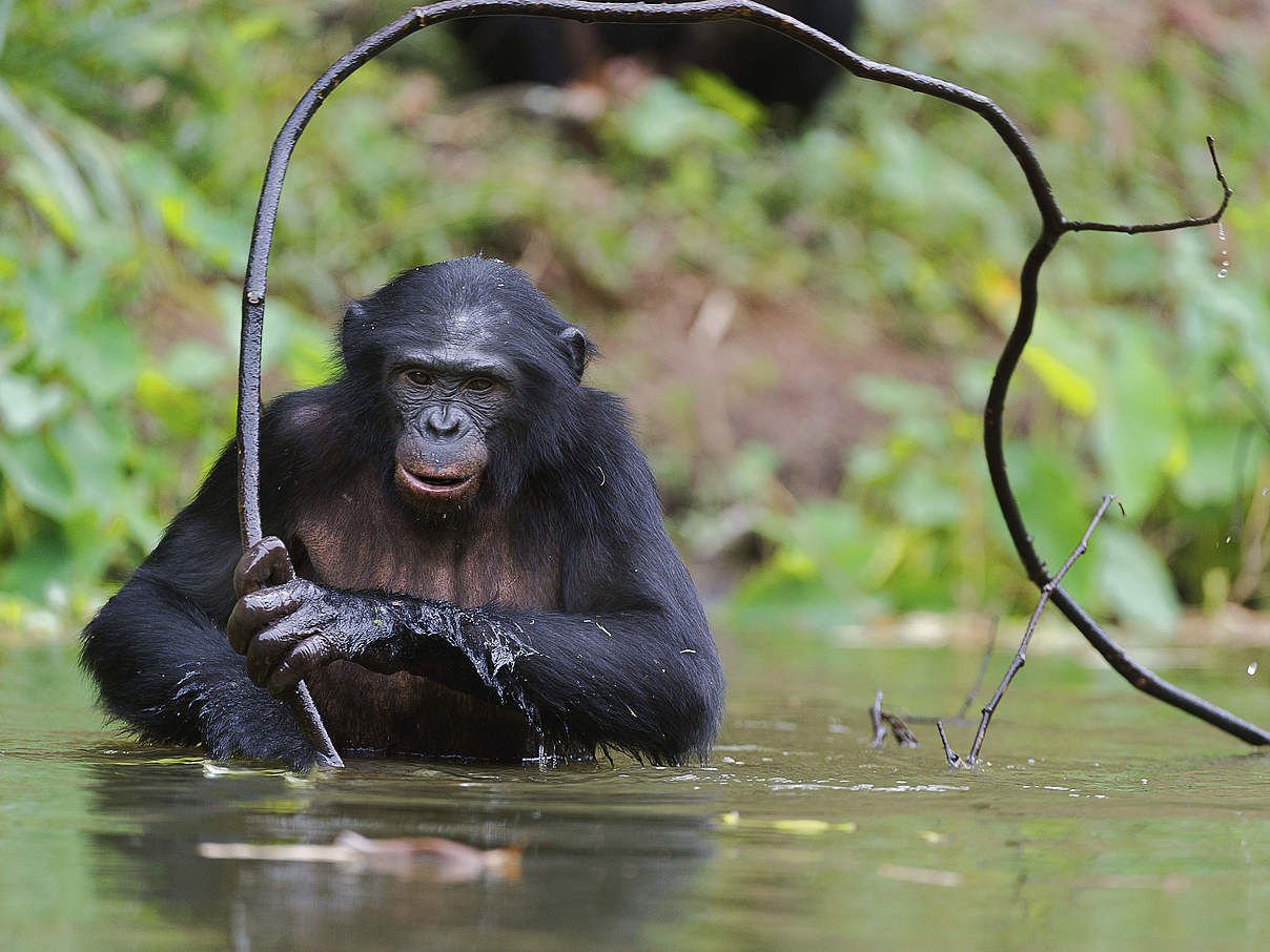 Bonobo im Wasser © USO / iStock / Getty Images Plus