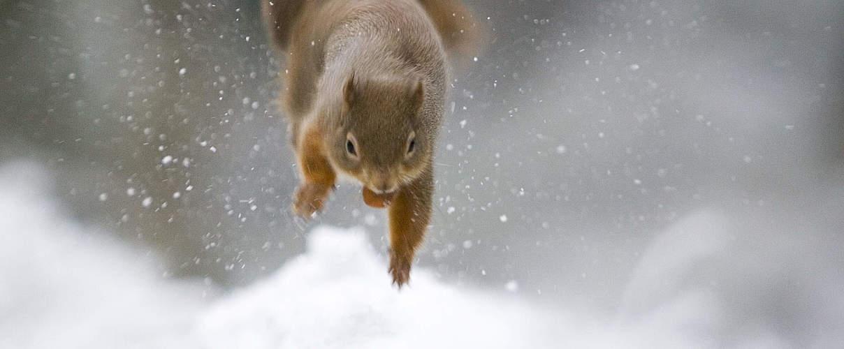 Eichhörnchen im Schnee © Wild Wonders of Europe / Peter Cairns / WWF