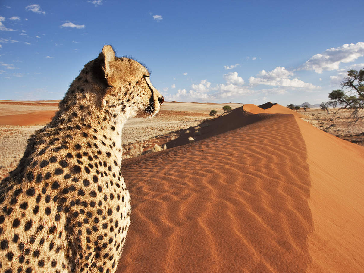 Gepard in Namibia © Martin Harvey / WWF