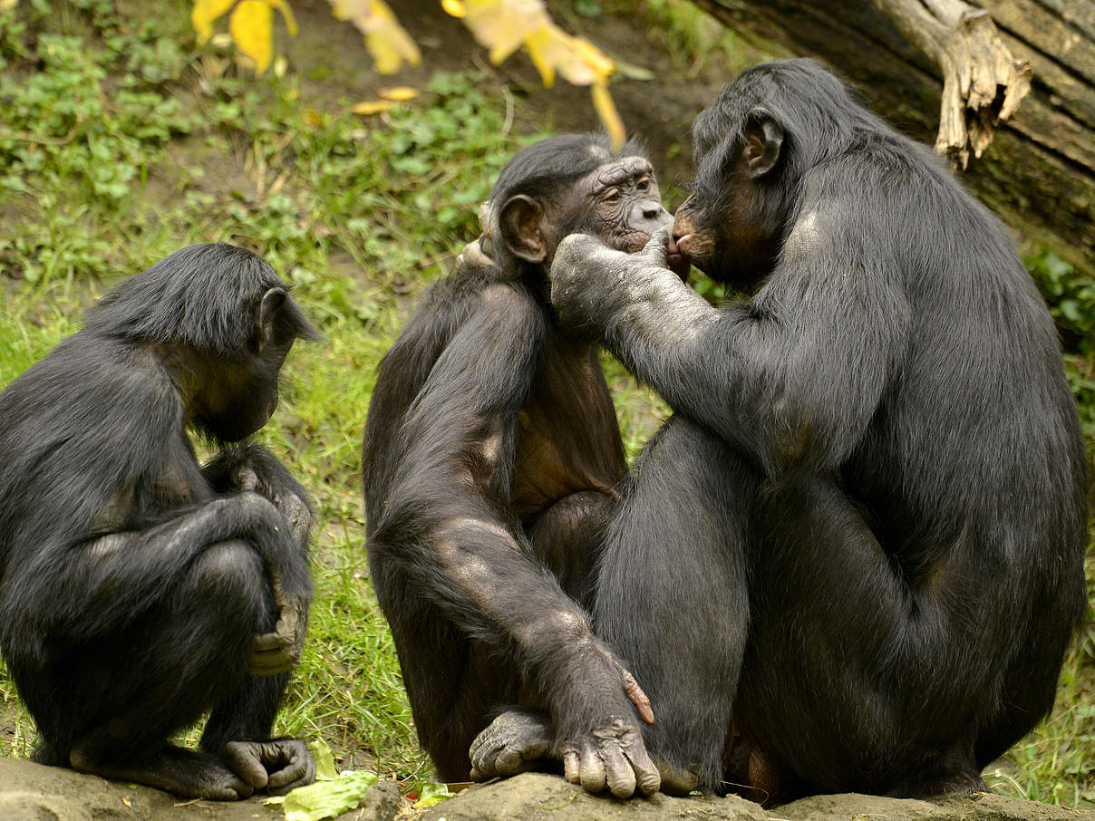 Bonobo Familie © Jeff Mc Curry / iStock / Getty Images Plus
