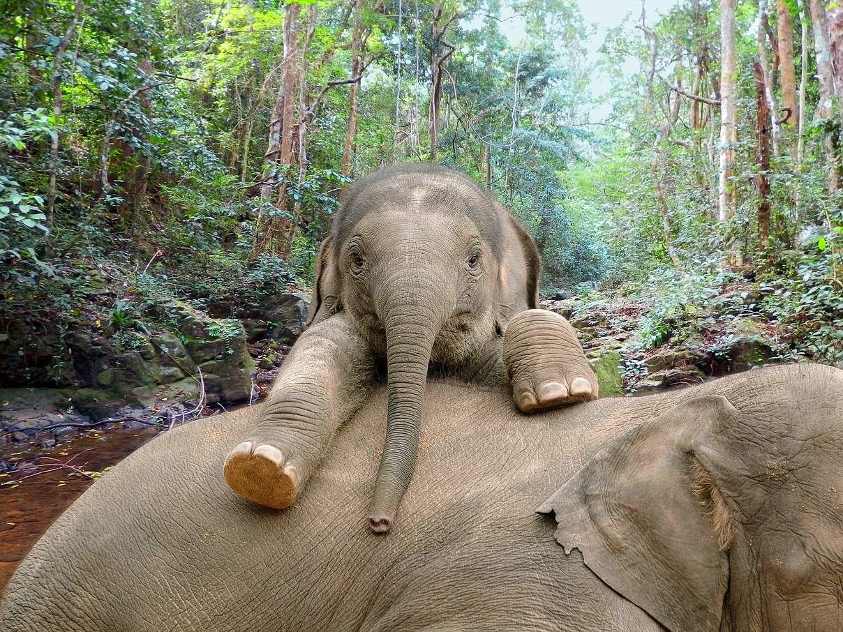 Kleiner Elefant mit Mutter © WWF
