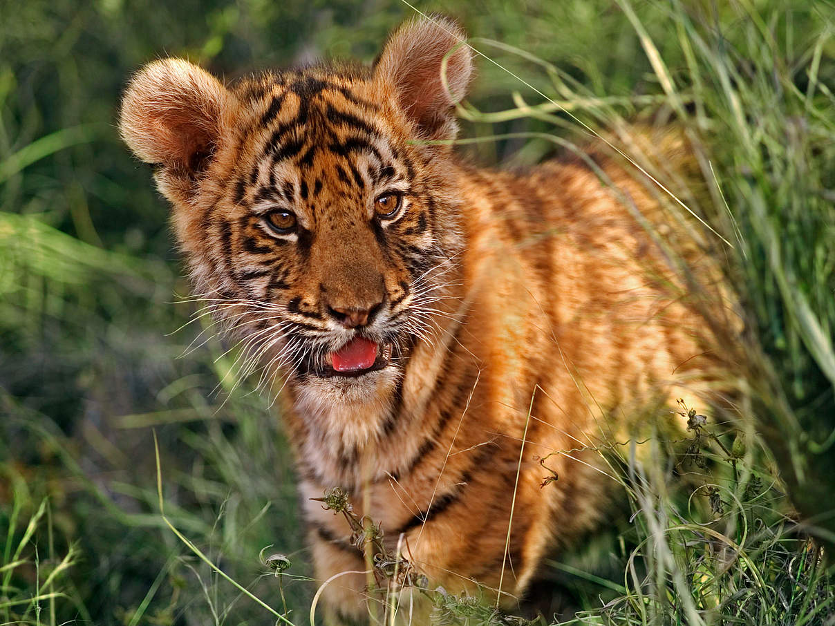 Zwei Monate alter indischer tiger © Martin Harvey / WWF
