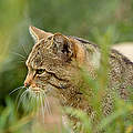 Wildkatze © Thomas Stephan Munderkingen