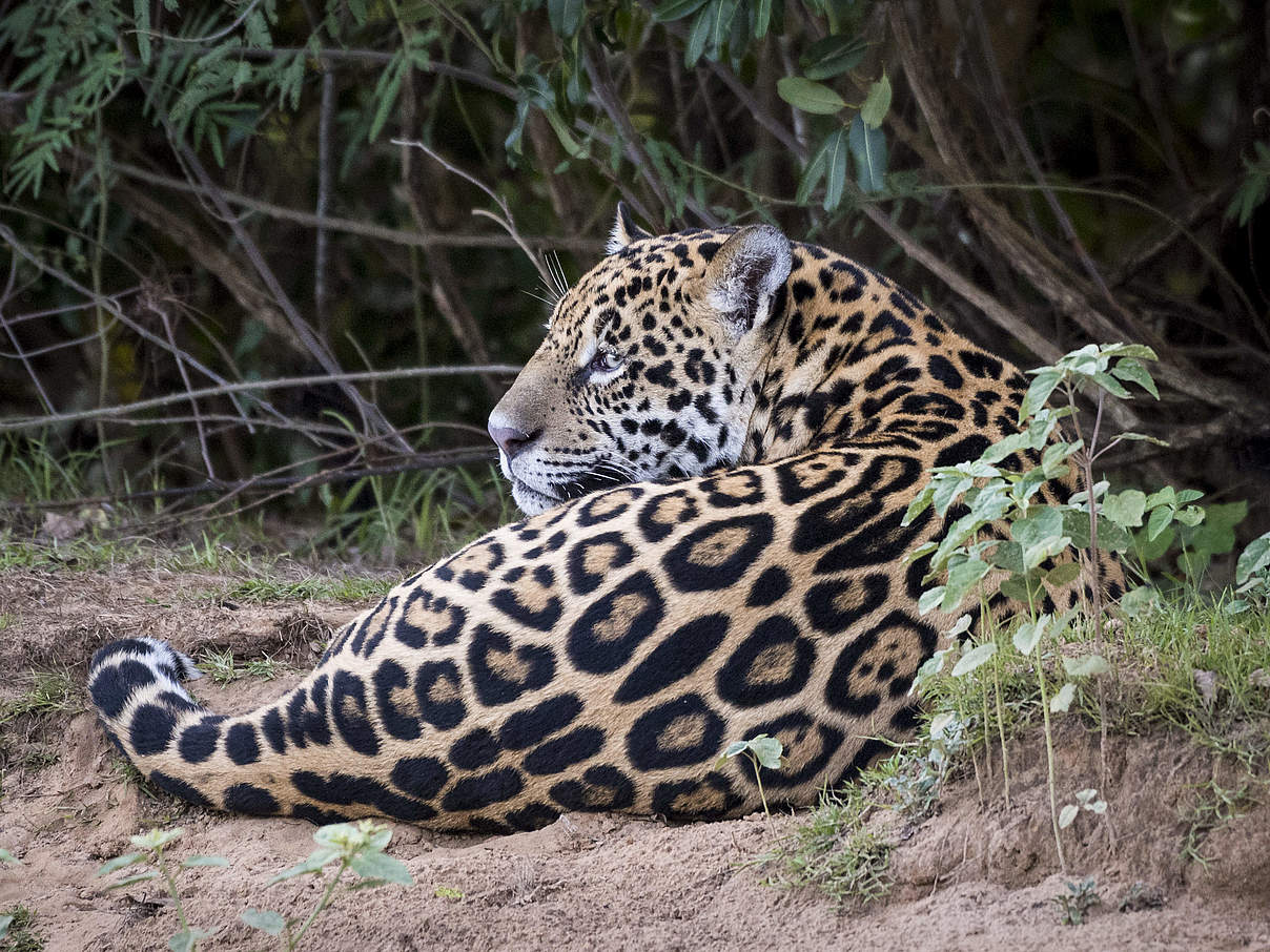 Jaguar © Richard Barrett / WWF-UK
