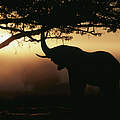 Elefant in Afrika © Martin Harvey / WWF Canon