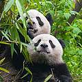 Pandas @ iStock / Getty Images