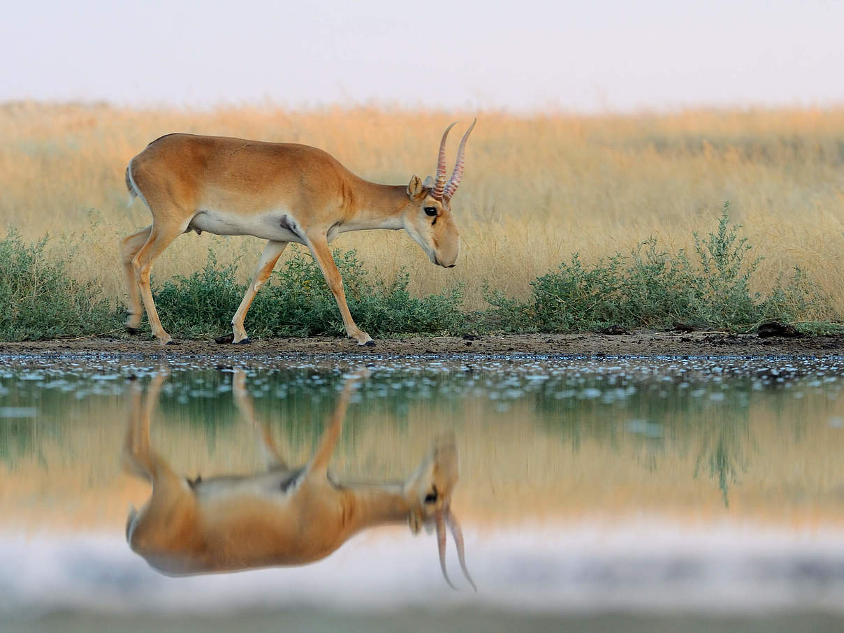 Saiga-Antilope © iStock / GettyImages