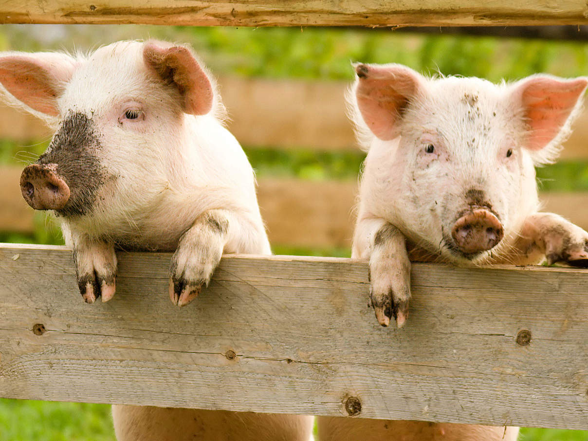 Schweine am Zaun © PahaM / iStock / Getty Images Plus
