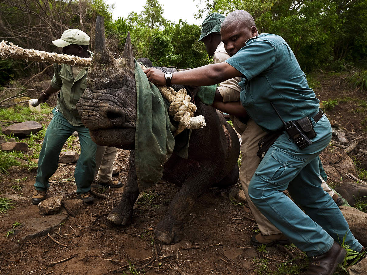 Ein Nashorn während der Umsiedlungsaktion in Südafrika © Brent Stirton / Getty Images / WWF-UK