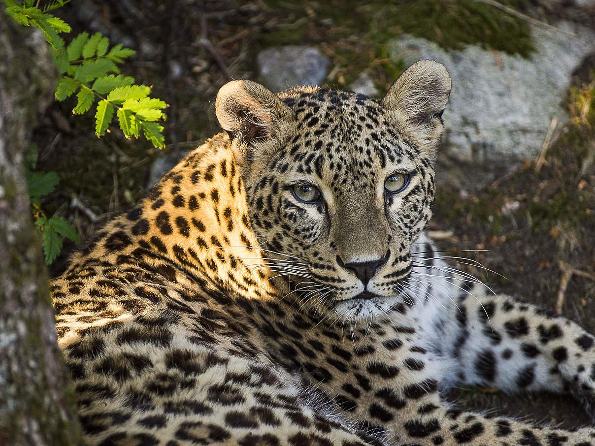 Kaukasus Leoparden im WWF Artenlexikon Zahlen & Fakten