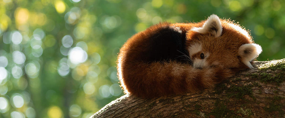 Roter Panda © AB photography / iStock / GettyImages Plus