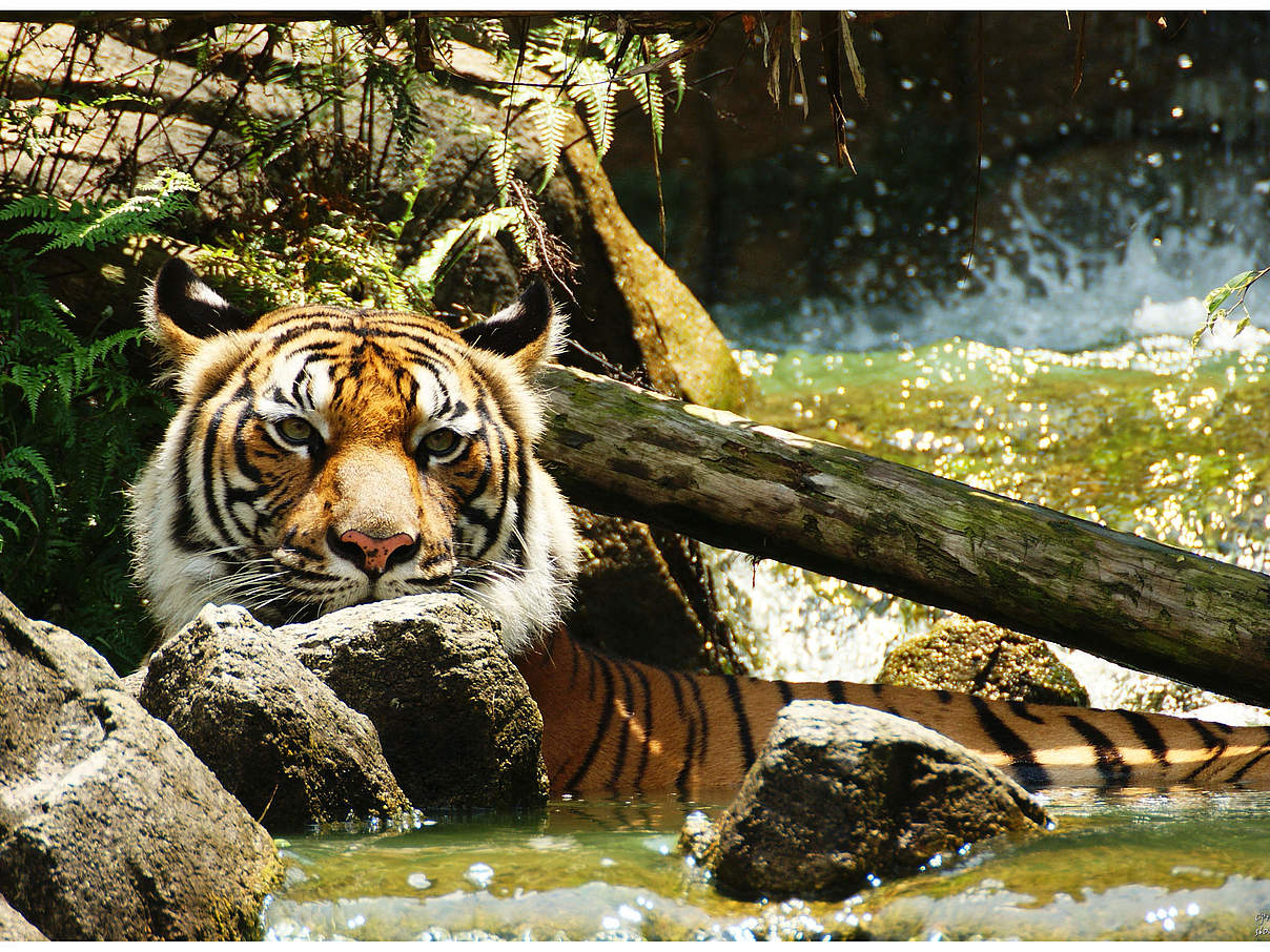 Indochinesischer Tiger © Choong Joon LAI / WWF-Greater Mekong