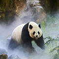 Ein weiblicher Pandabär in China © naturepl.com / Eric Baccega / WWF