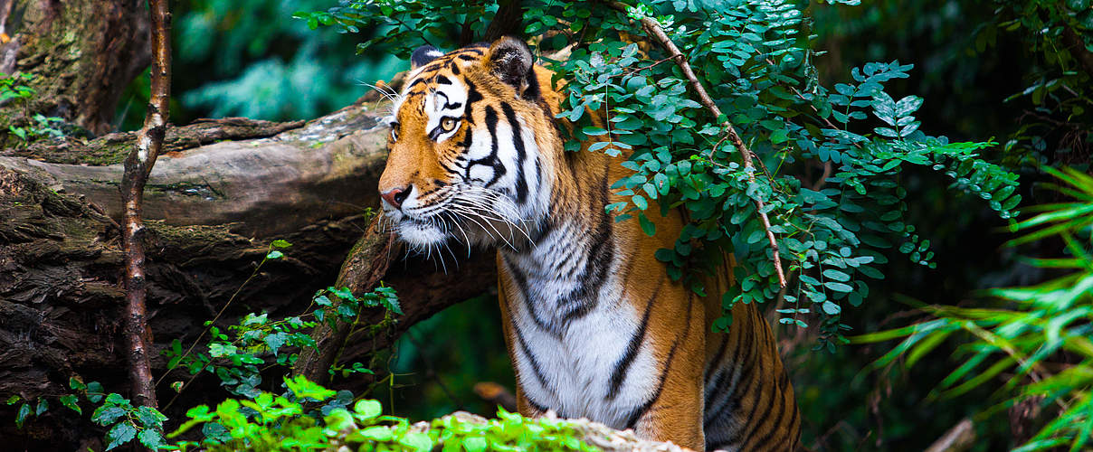Bengal-Tiger © ewastudio / iStock / Getty Images