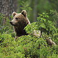 Braunbär im Wald © Wild Wonders of Europe / Staffan Widstrand / WWF