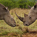 Nashorn-Wilderei © Brent Stirton / Getty Images / WWF-UK