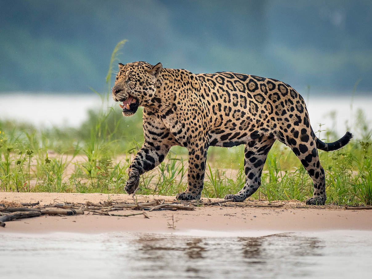 Jaguar an einem Fluss in Brasilien © Richard Barrett / WWF-UK