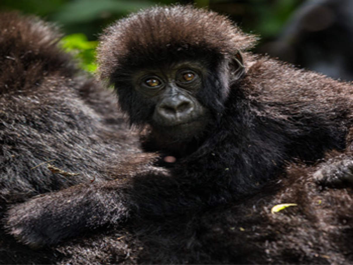 Berggorilla im Nationalpark Virunga © Brent Stirton / Getty Images