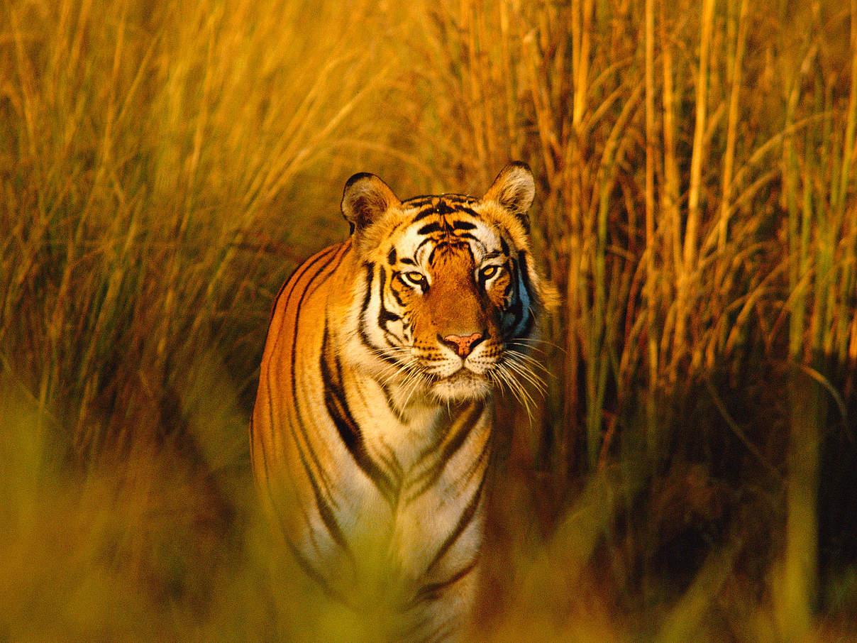 Für Tiger spenden