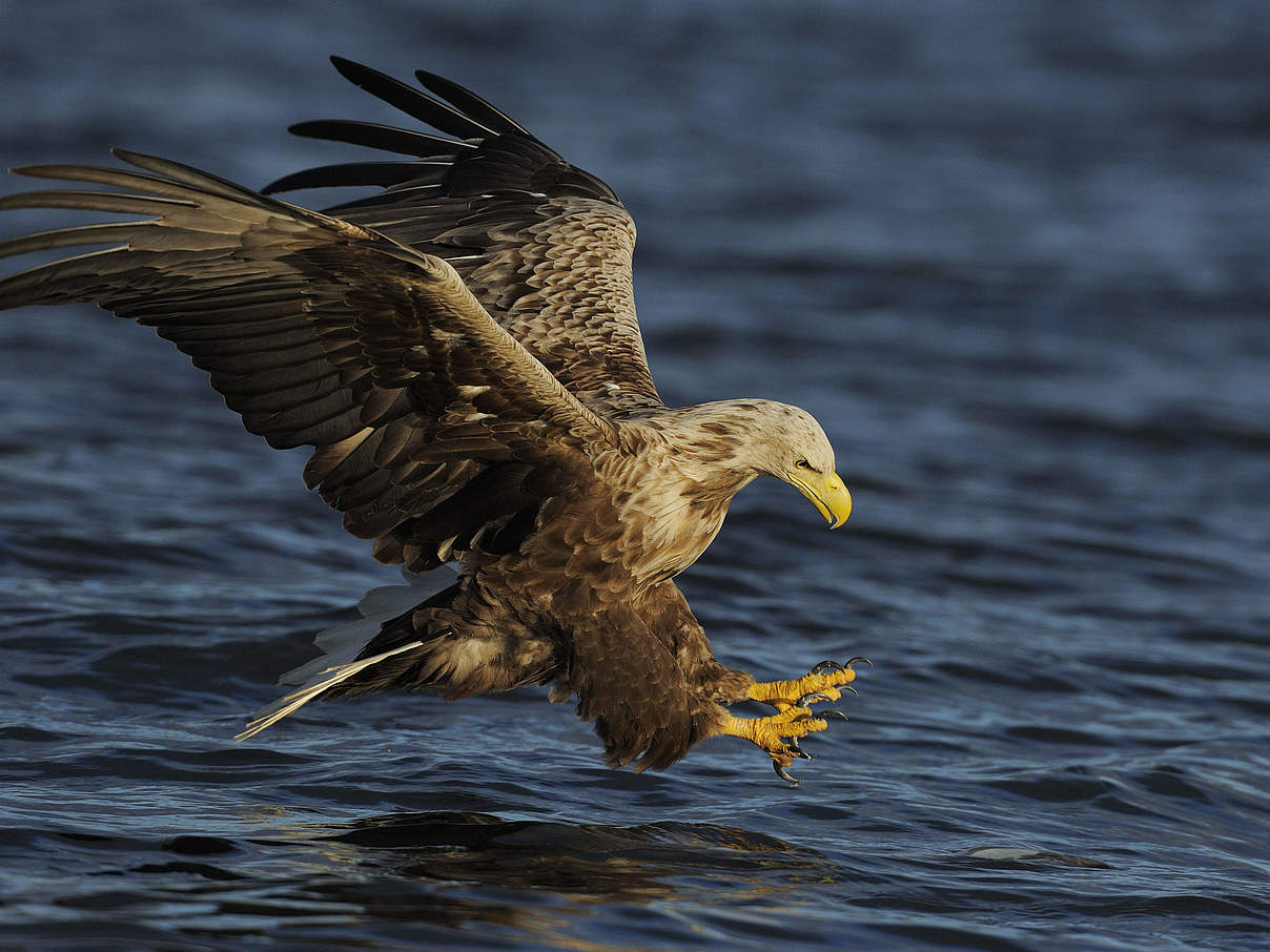 Seeadler © Wild Wonders of Europe / Widstrand / WWF