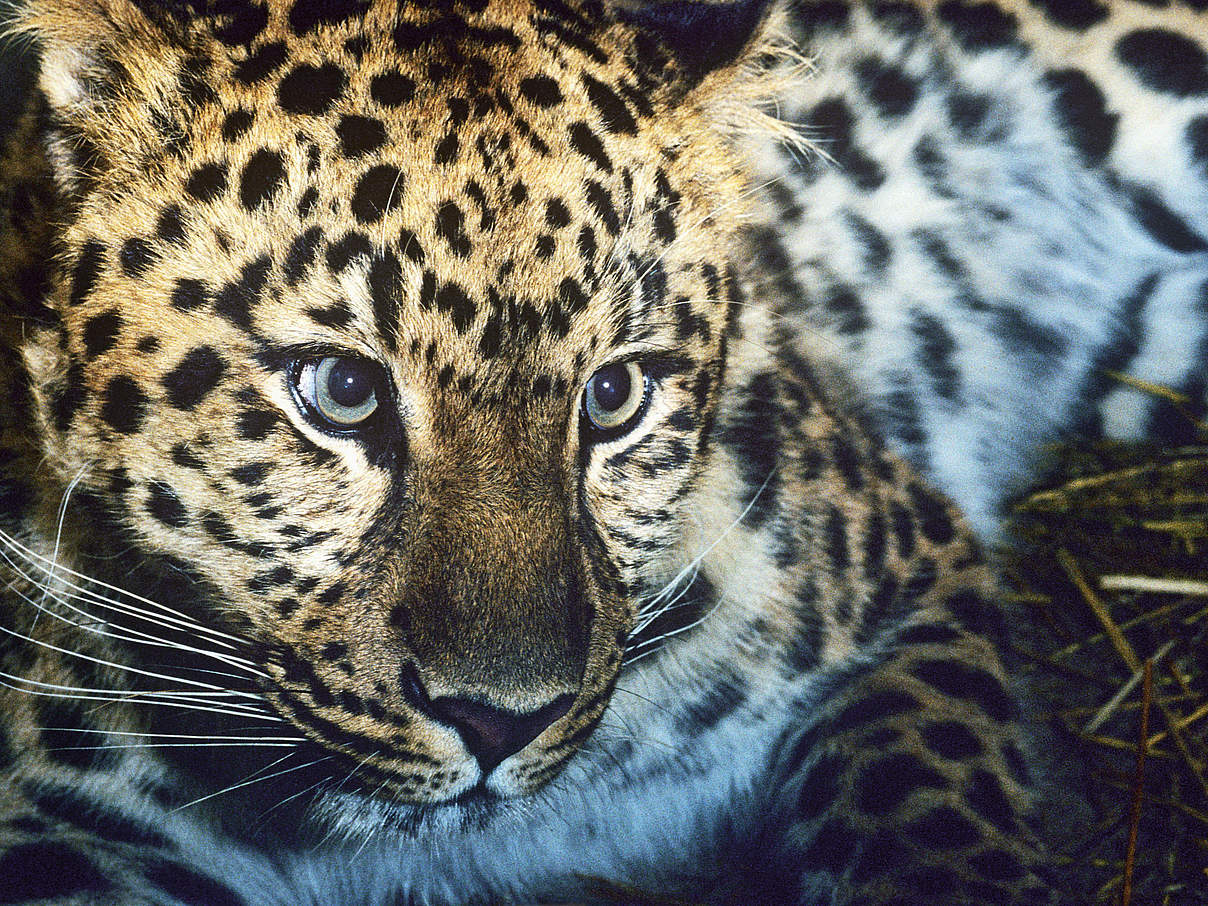 Amur-Leopard © David Lawson / WWF UK