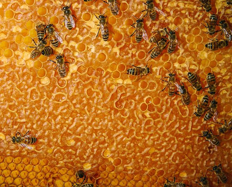 Bienenwabe © Morgan Heim / Day's Edge Productions / WWF USA