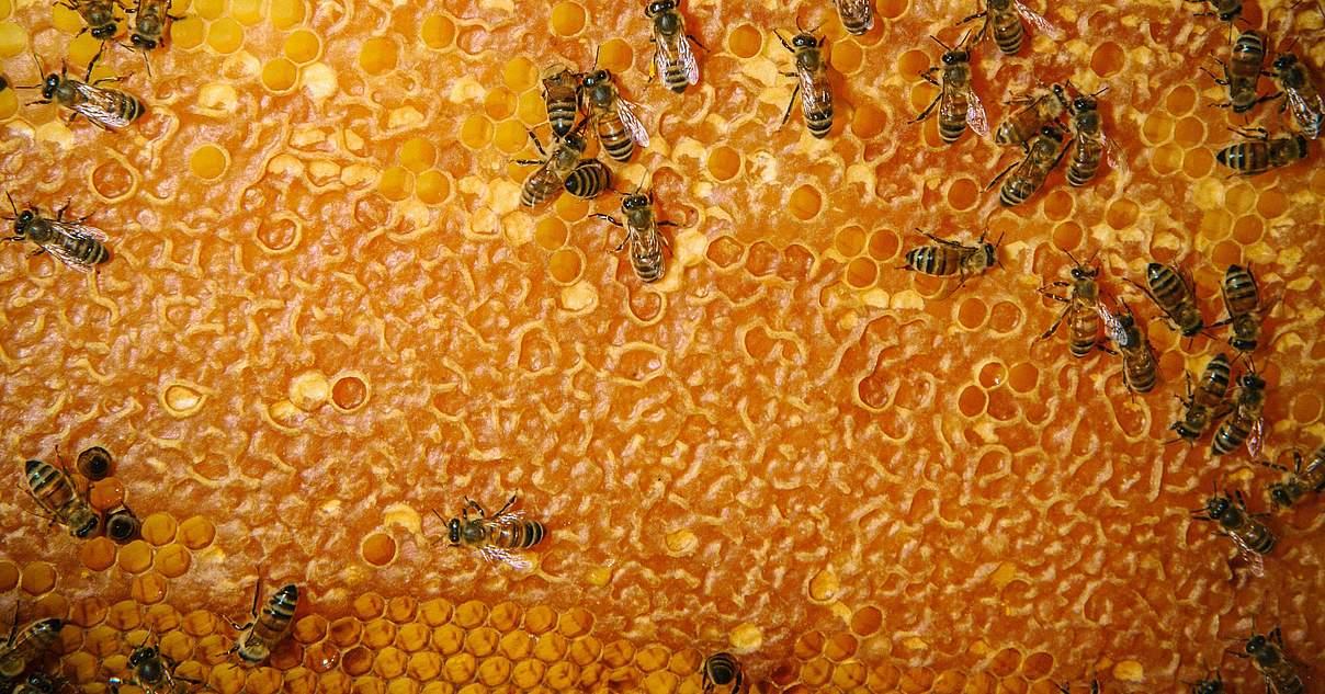 Der Biene droht der Untergang