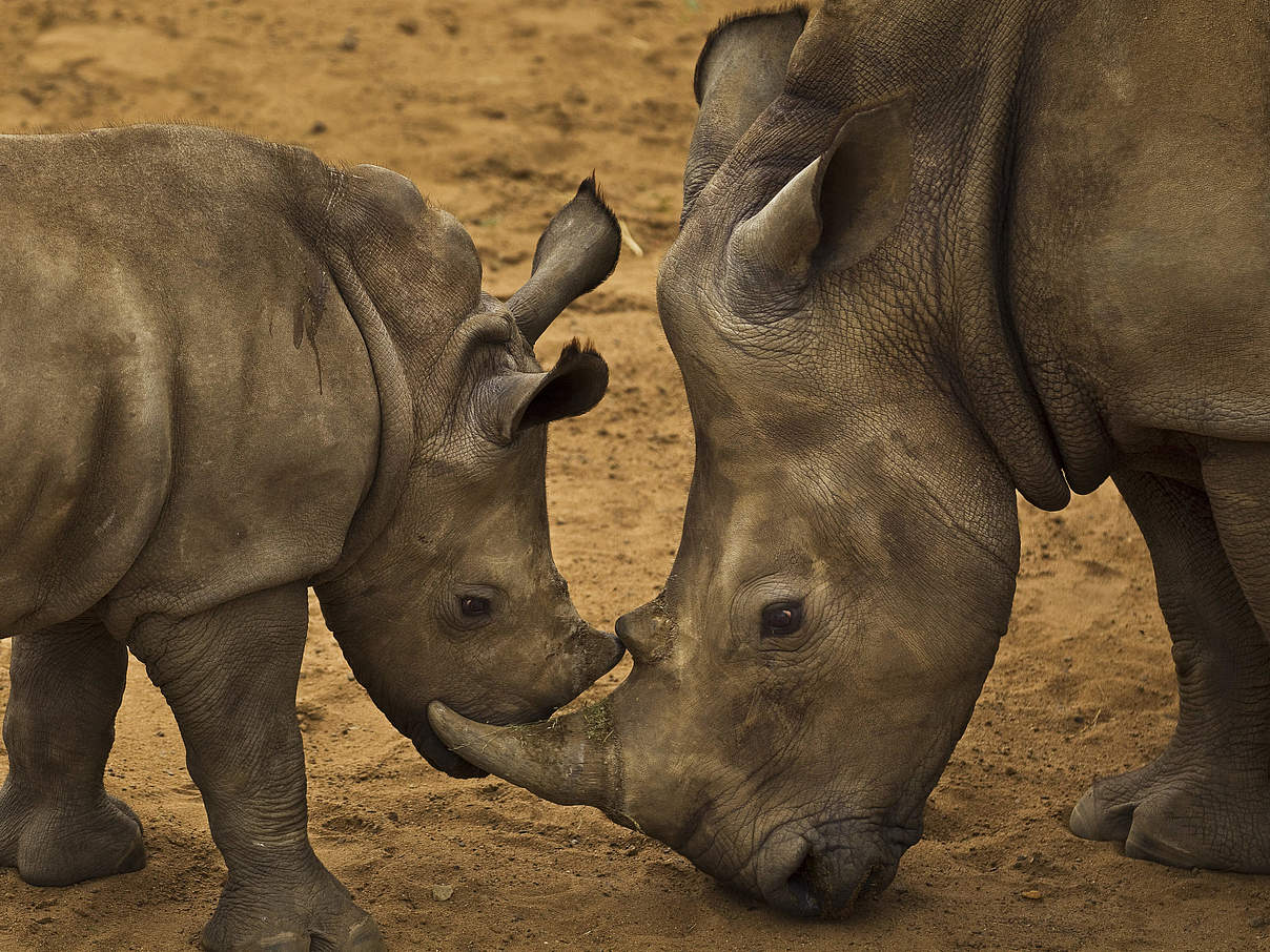 Nashorn © Brent Stirton / Getty Images / WWF UK