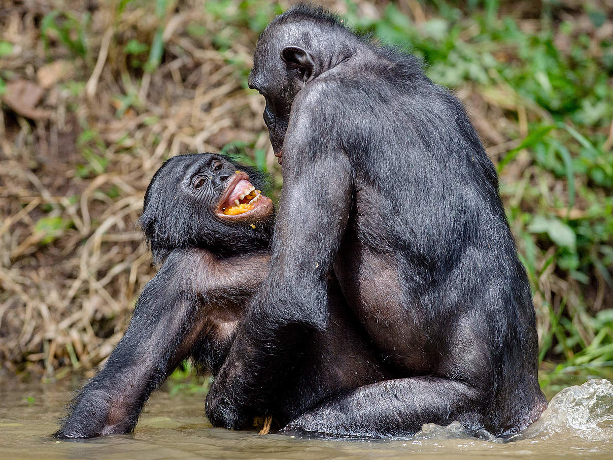 Bonobos bei der Paarung © USO / iStock / Getty Images Plus