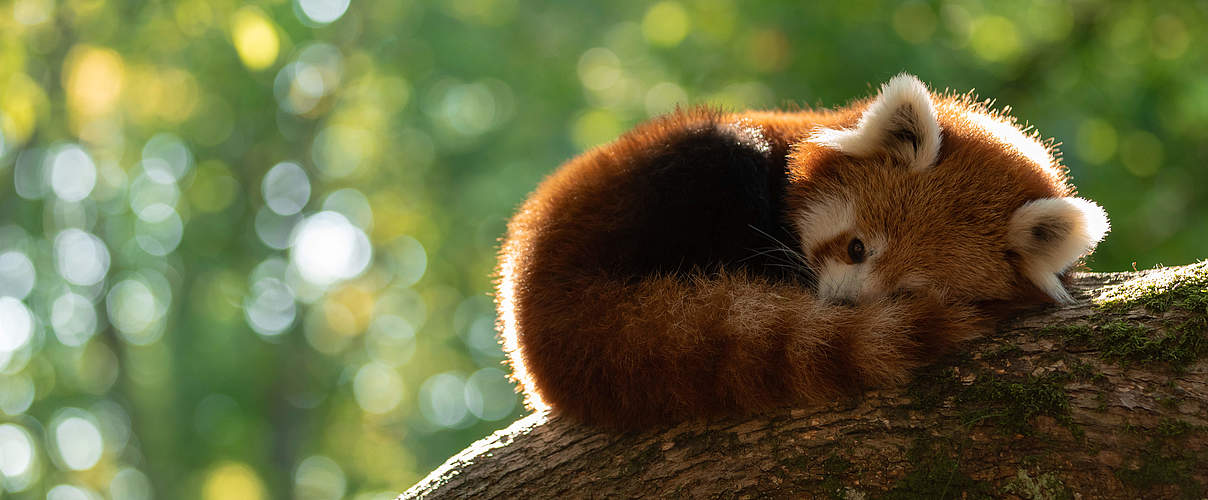 Roter Panda © AB photography / iStock / Getty Images Plus