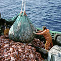 Granatbarsch im Netz © Australian Fisheries Management Authority