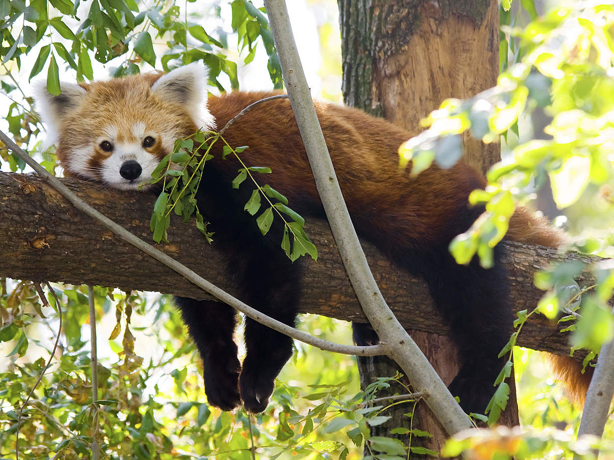 Roter Panda © iStock / GettyImages