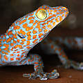 Tokeh-Gecko. © C. Gomes / TRAFFIC / WWF