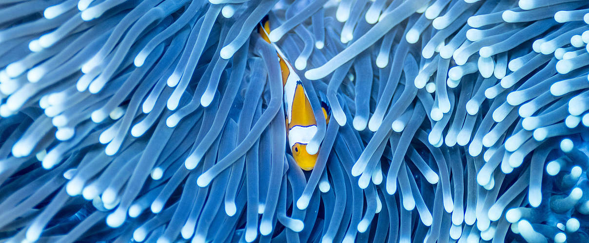 Clownfisch in Anemone, Indonesien © James Morgan / WWF-US